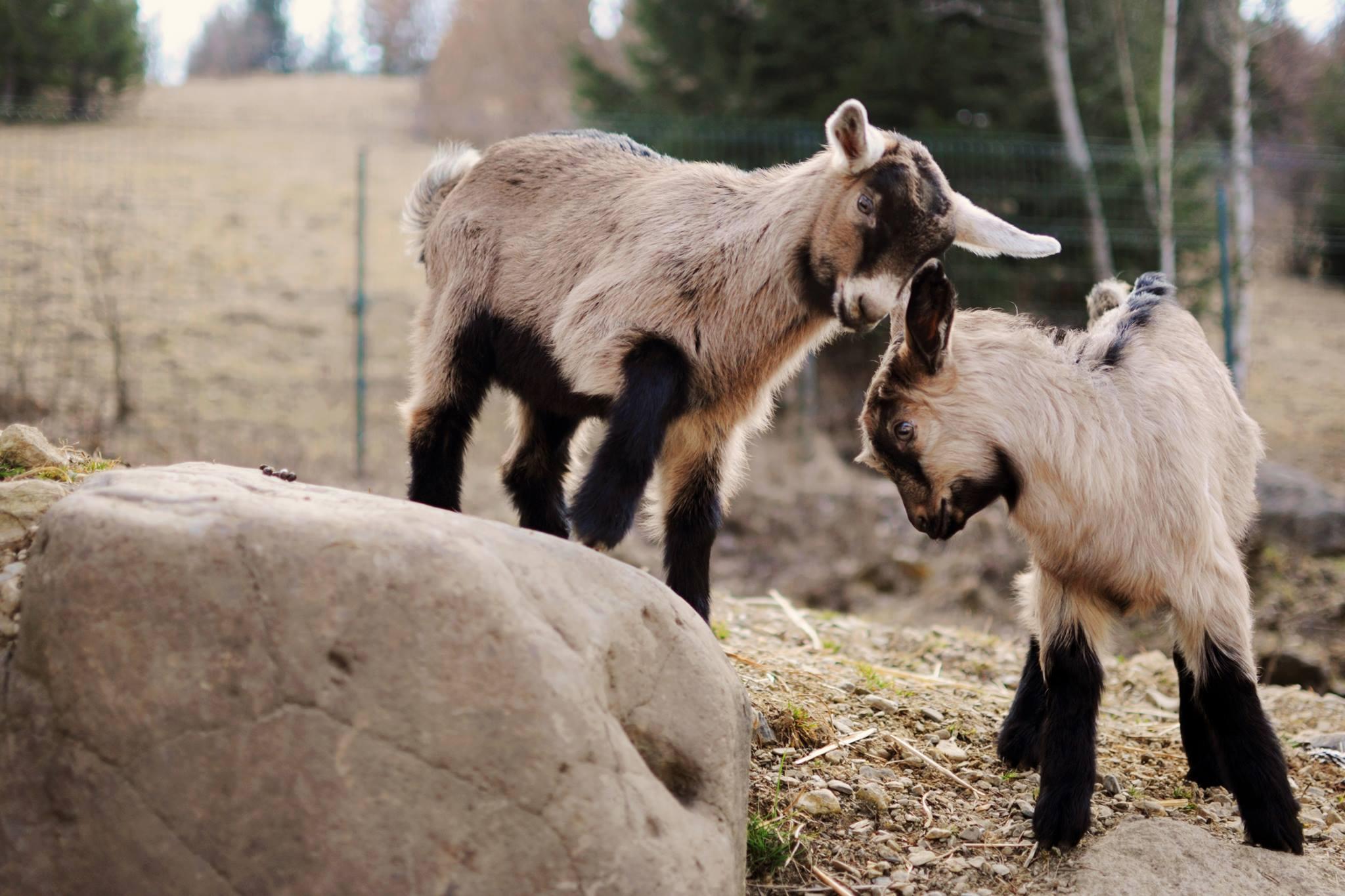 Timian, fermă capre